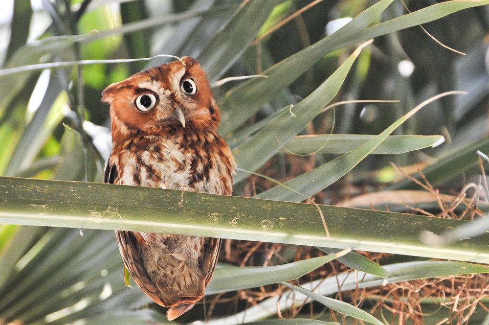 Eastern Screech-Owl.jpg