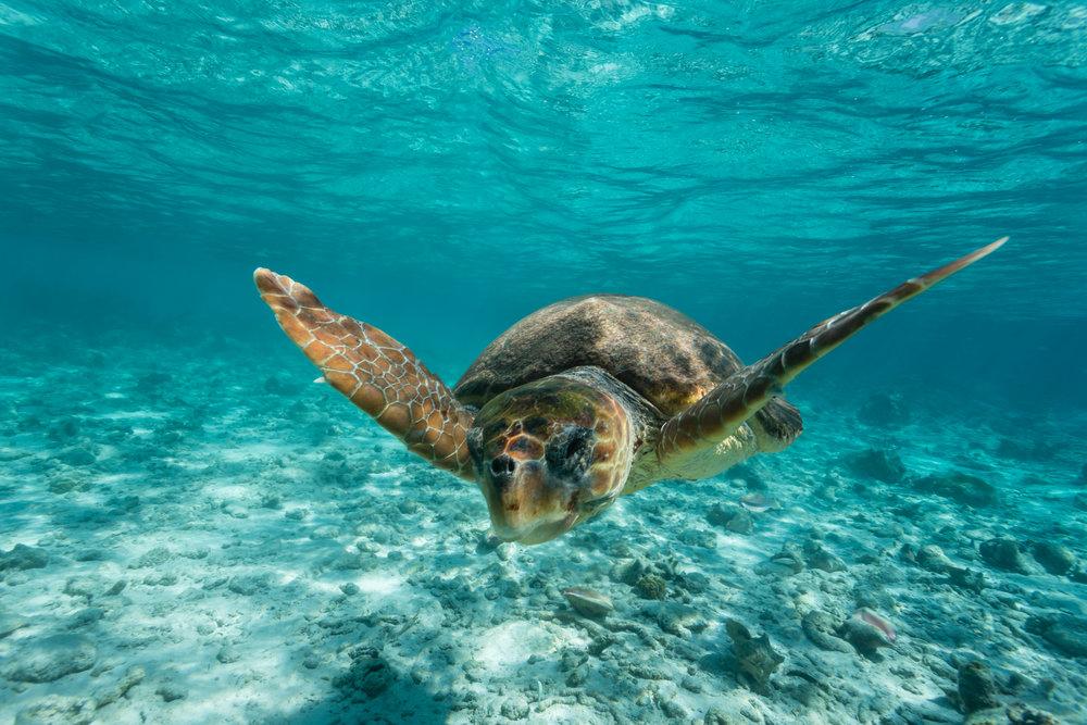 loggerhead turtle iStock-462117619.jpg