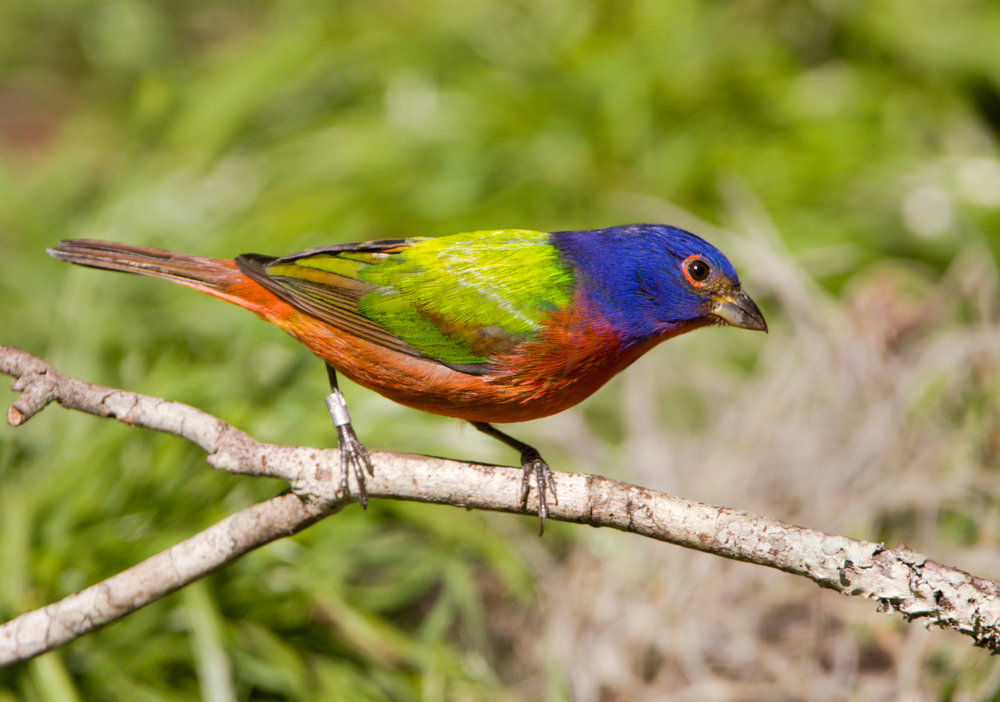 A painted bunting perched on a branch.