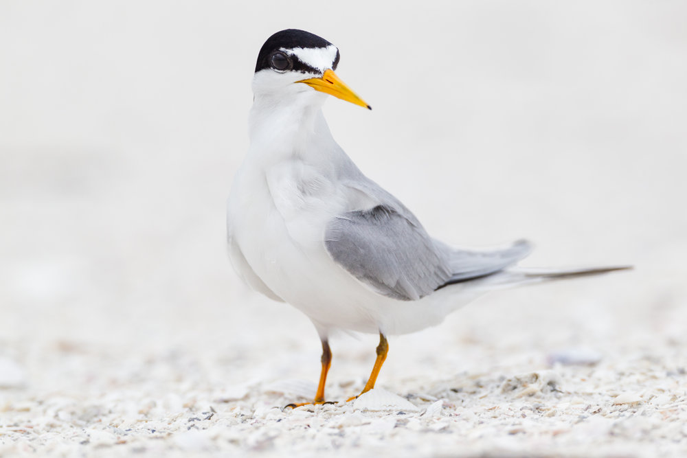 Least tern or  Sternula antillarum