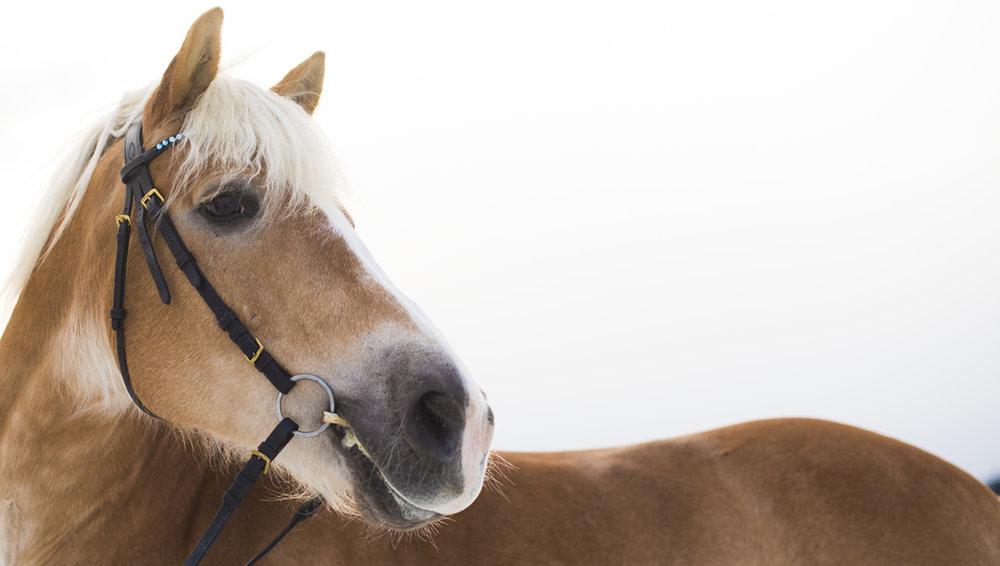 nordic horsee.jpg