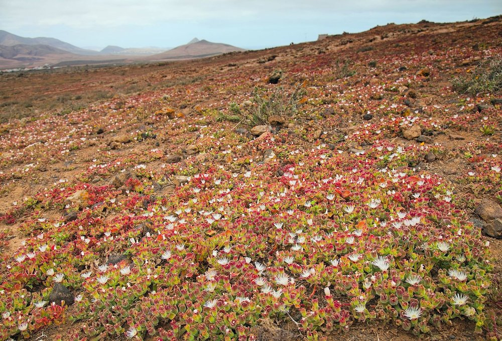 Mesembryanthemum_crystallinum_in_malpais_on_Fuerteventura,_Canary_Islands.jpg