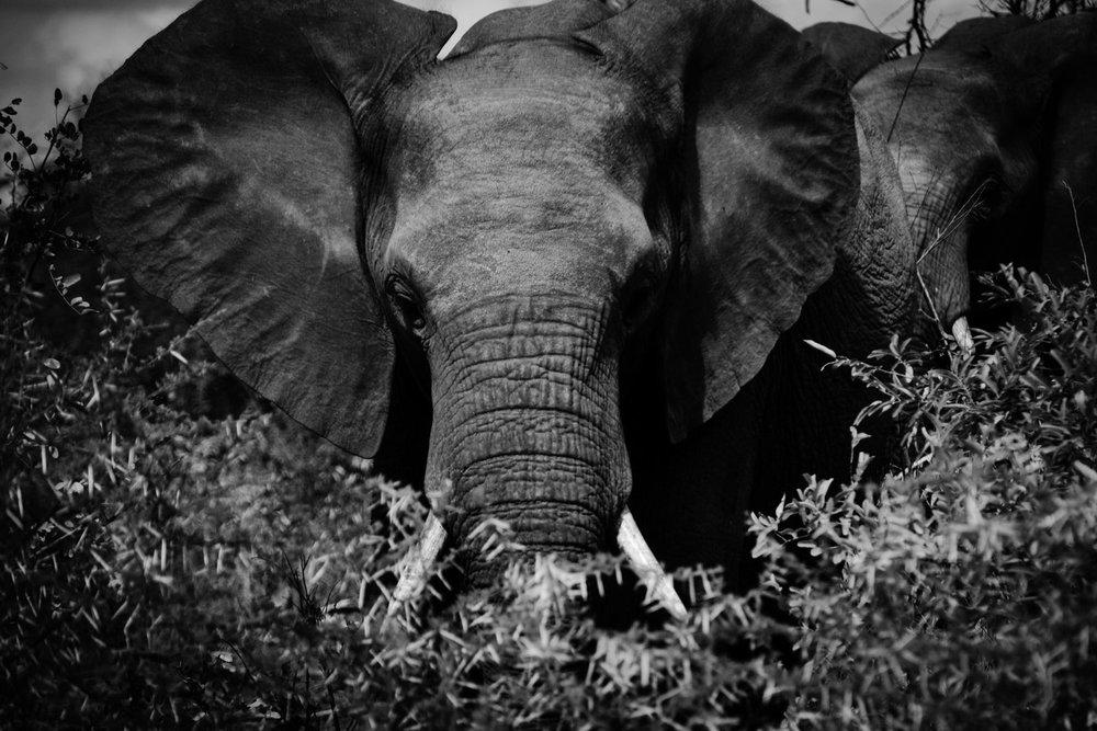 Olifant_at_Kruger_National_Park.jpg
