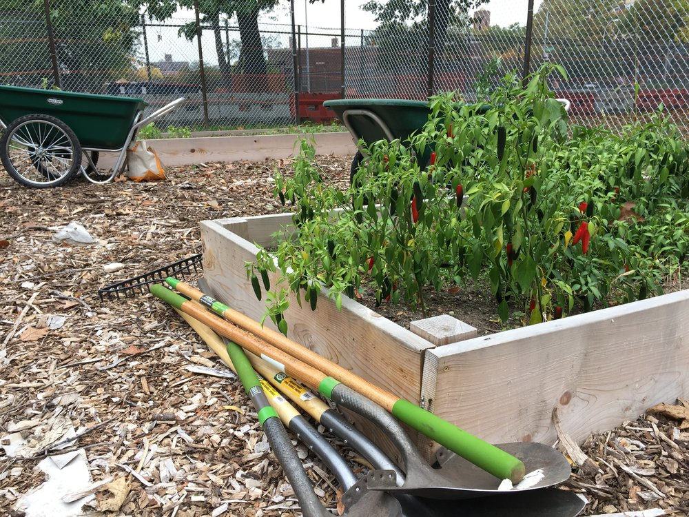 Chili peppers for the Bronx Hot Sauce are ready to be harvested.