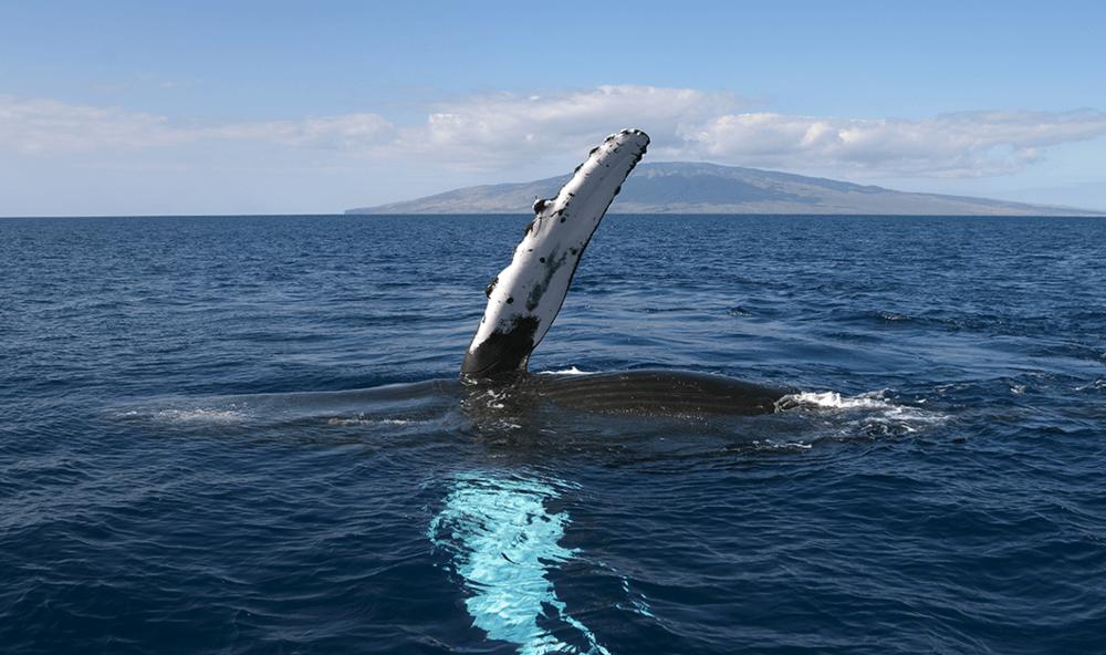 maui-whale-wave.png