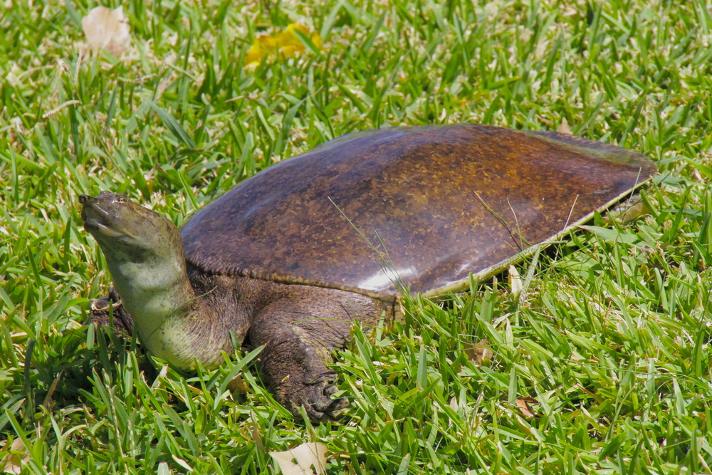 Soft-shelled turtle (first-ever turtle that Loren admitted was not cute)