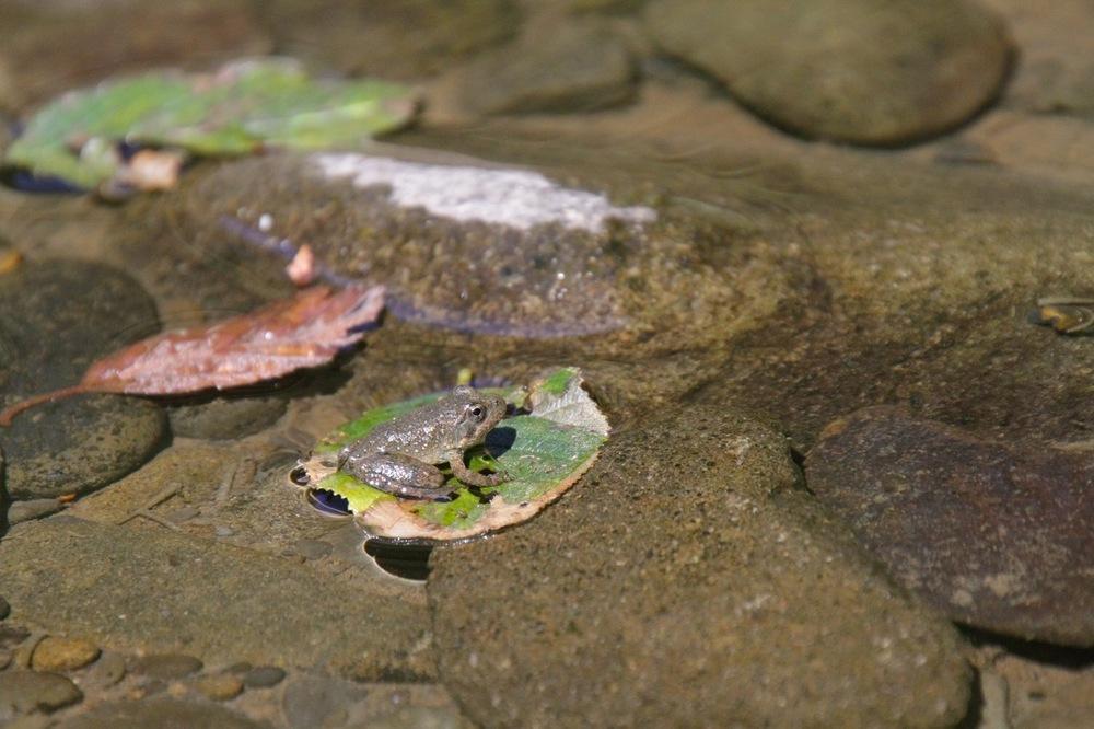 Frog at Humboldt