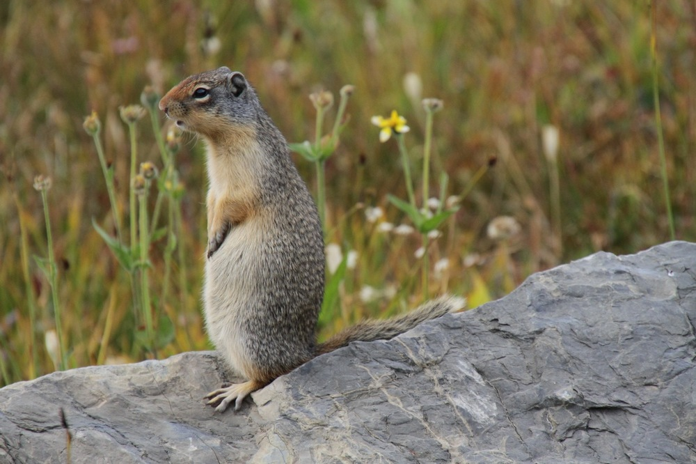 One of many Ground Squirrels