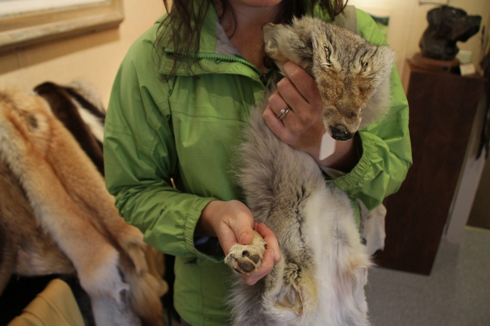 Coyote pelt, with paws