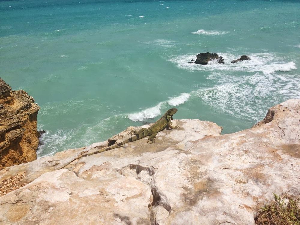 iguana-playa-sucia.jpg