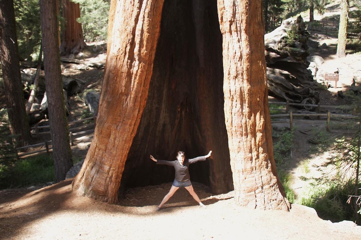 Huge Sequoia Tree