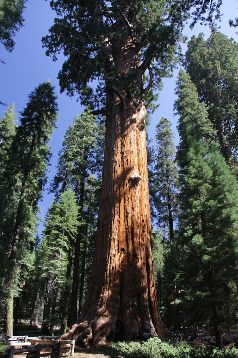 General Sherman, largest tree in the world (giant sequoia)