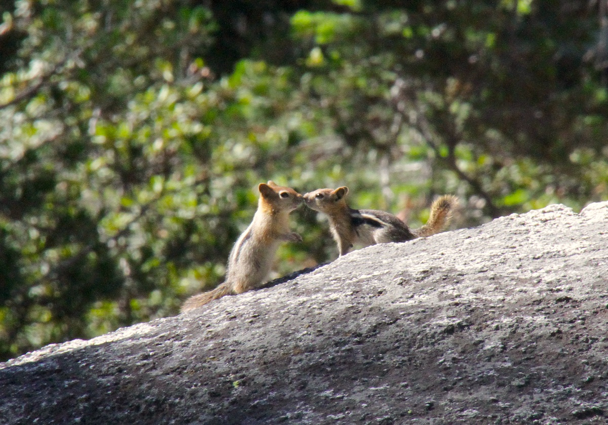 Yosemite chipmunks kissing