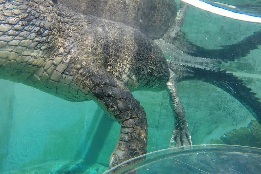 crocodile-darwin-cage-of-death.jpg