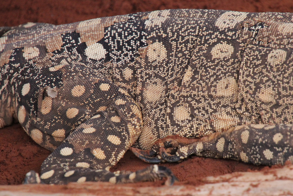 Goanna looking like aboriginal artwork