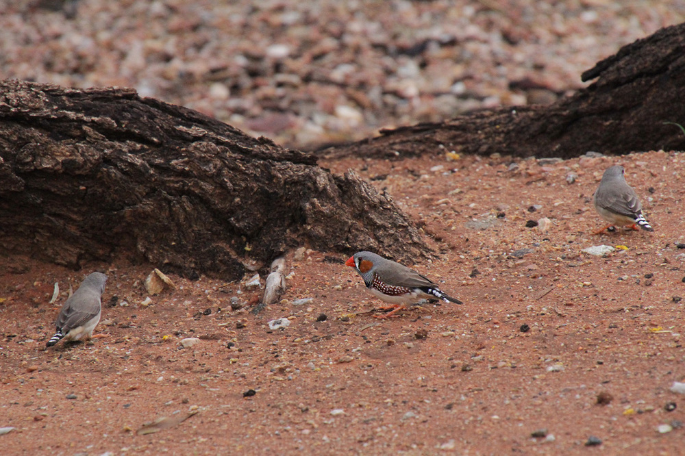 zebra-finches-alice-springs.jpg