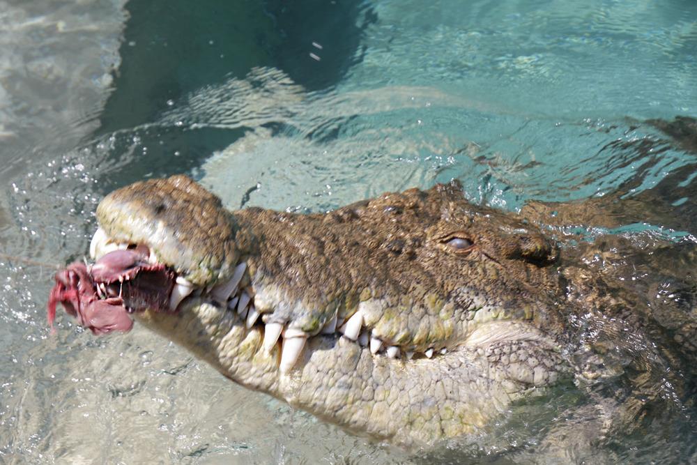 crocosaurus-cove-feeding-crocodile.jpg
