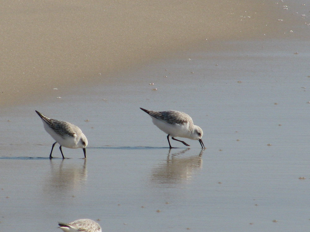 Sandpiper's feasting on sand crabs