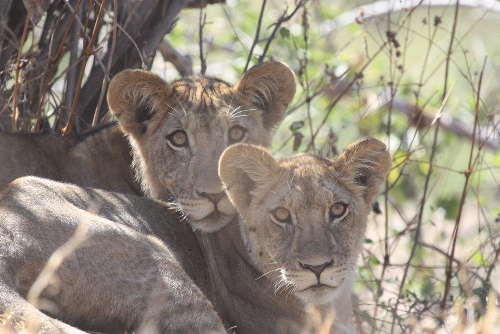 Juvenile lions. PC: Ruaha Carnivore Project