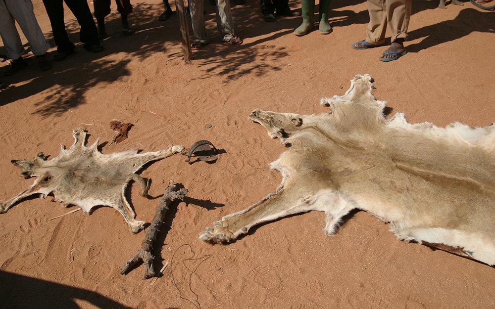 Lion skins