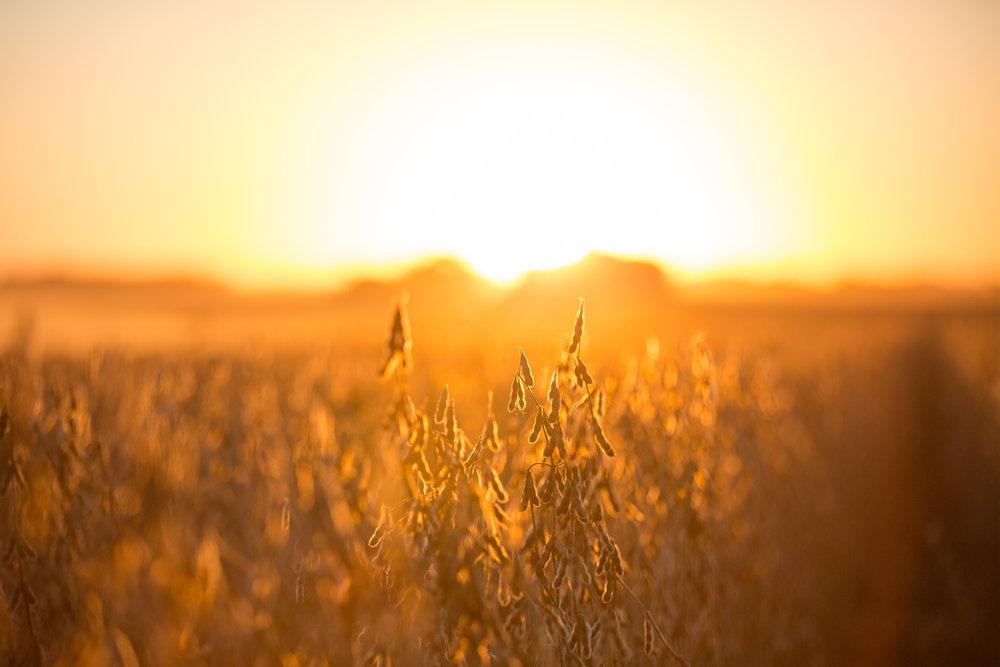 fall | harvest | sunset | john deere | combine | farming | midwest | dusk | bean harvest | stephanie lynn photography