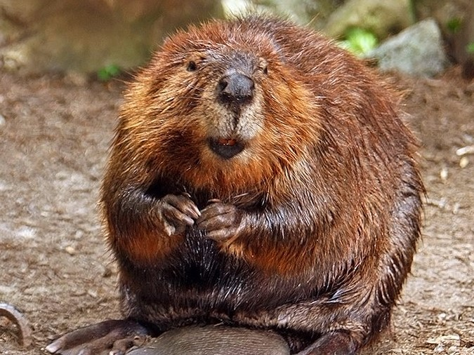 You can thank beavers for raspberry flavours.  Steve / Wikimedia Commons