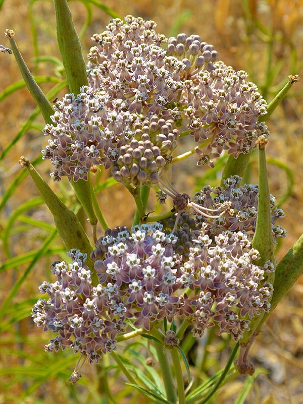 broad-leaved milkweed