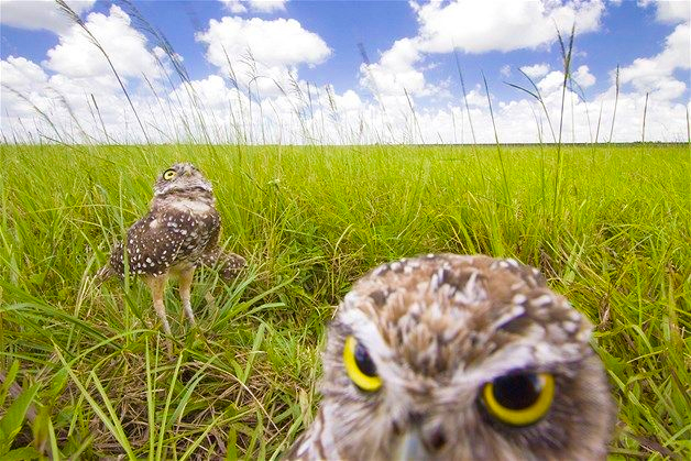 burrowing owls (by Mark Stone via Flickr)