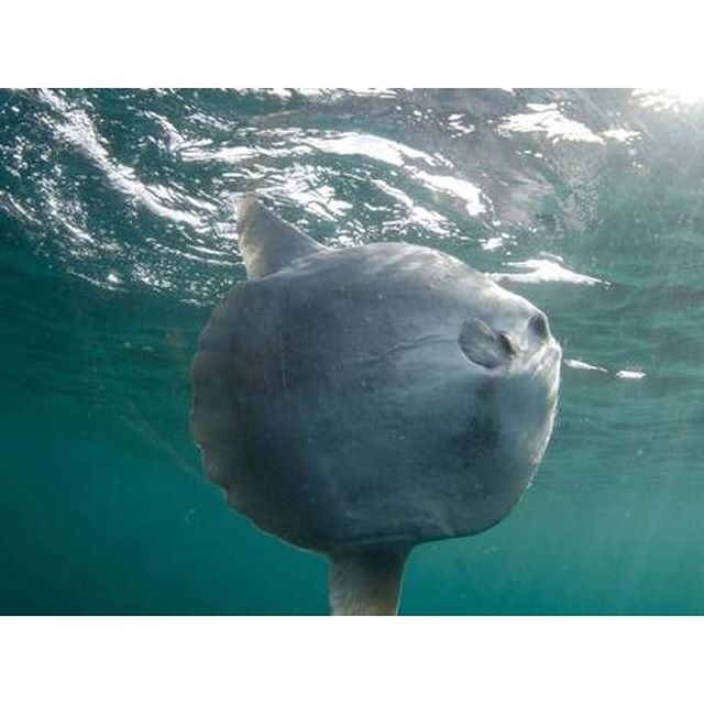 Tuesday shoutout to the Sunfish! You are truly a design miracle 🦕 . . . . . #sunfish #mola #coolestfishever #designedbynature