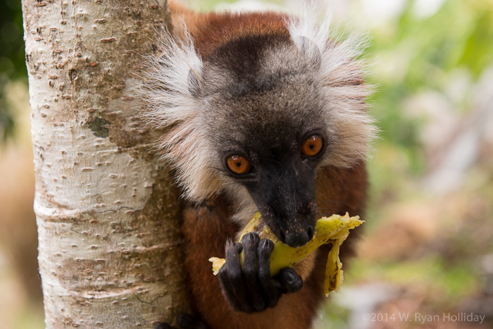 Nosy Komba Black Lemur