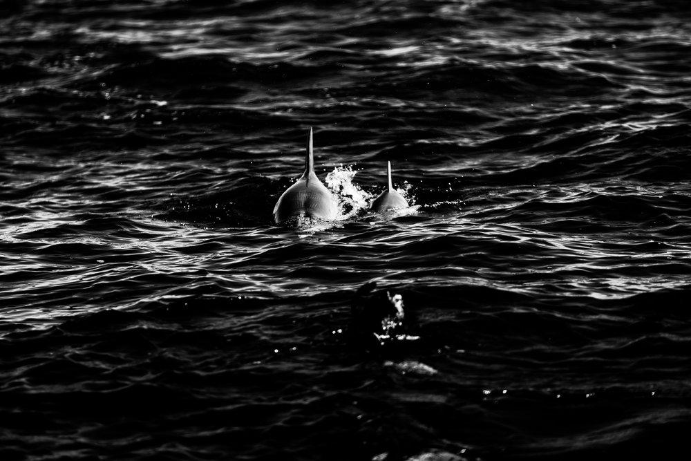 Spyrides_Kyle_Dolphin_Swimming_Rockingham_DSC2686.jpg
