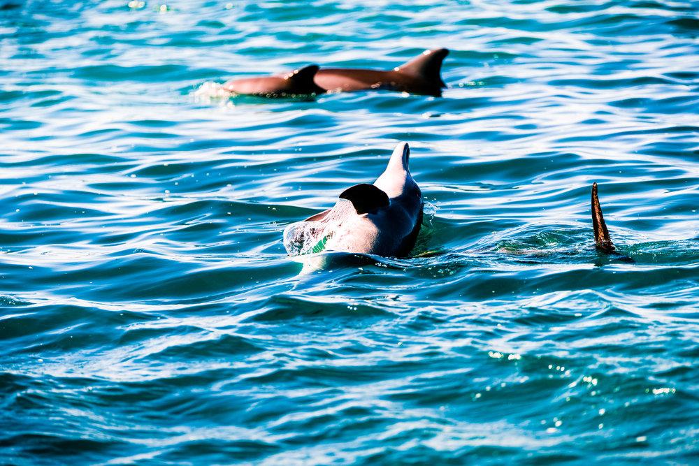 Spyrides_Kyle_Dolphin_Swimming_Rockingham_DSC2803.jpg