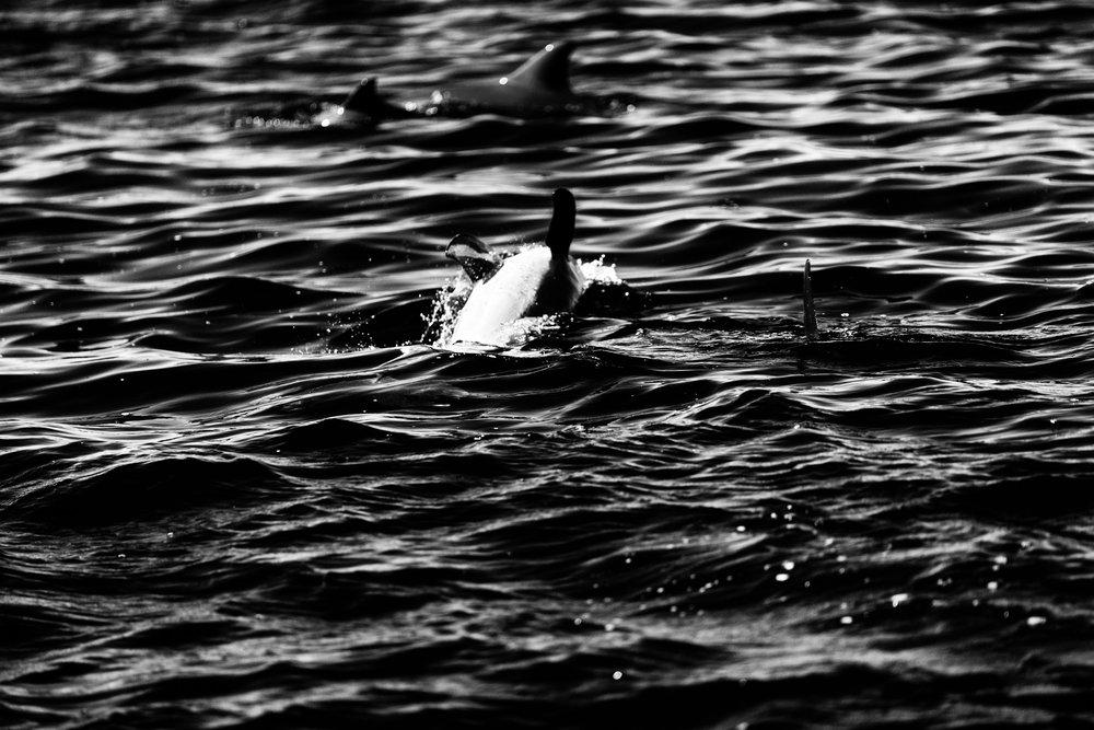 Spyrides_Kyle_Dolphin_Swimming_Rockingham_DSC2804.jpg