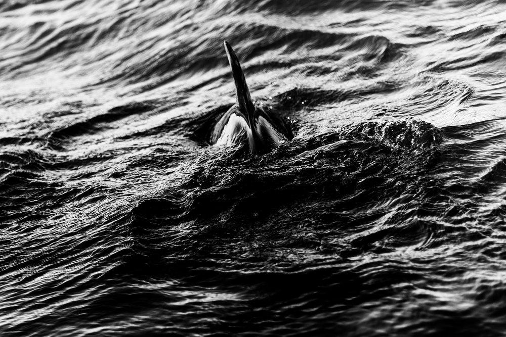 Spyrides_Kyle_Dolphin_Swimming_Rockingham_DSC2843.jpg