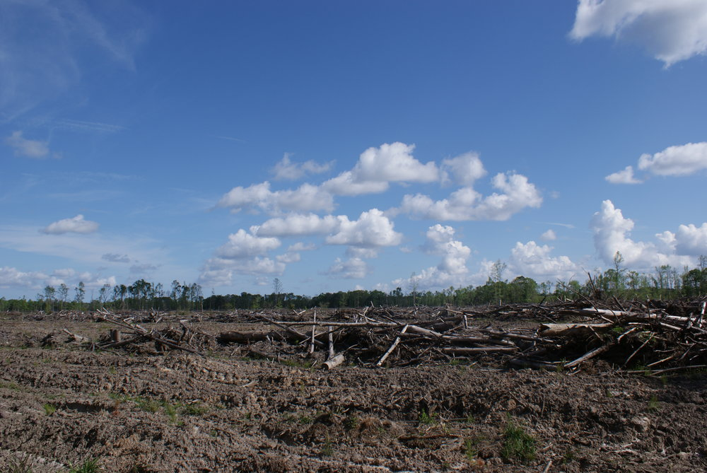 Harvested pine forest following clearcutting and woody biomass harvest in Georgia, USA. Photo by Steve Grodsky.