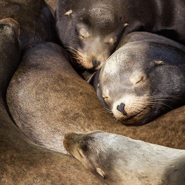 Sea lions demonstrating the correct after-turkey-nap form! From us to all of you, Happy Thanksgiving! May your day be filled with those you love 💜 . . . . #sealion #naptime #animals #animal_captures #wildlifephotography #earthfocus #wildlifeonearth #roamtheplanet #igtravel #awesome_earthpix #wanderlust #canon #oregon #sleepingbeauty #OptOutside