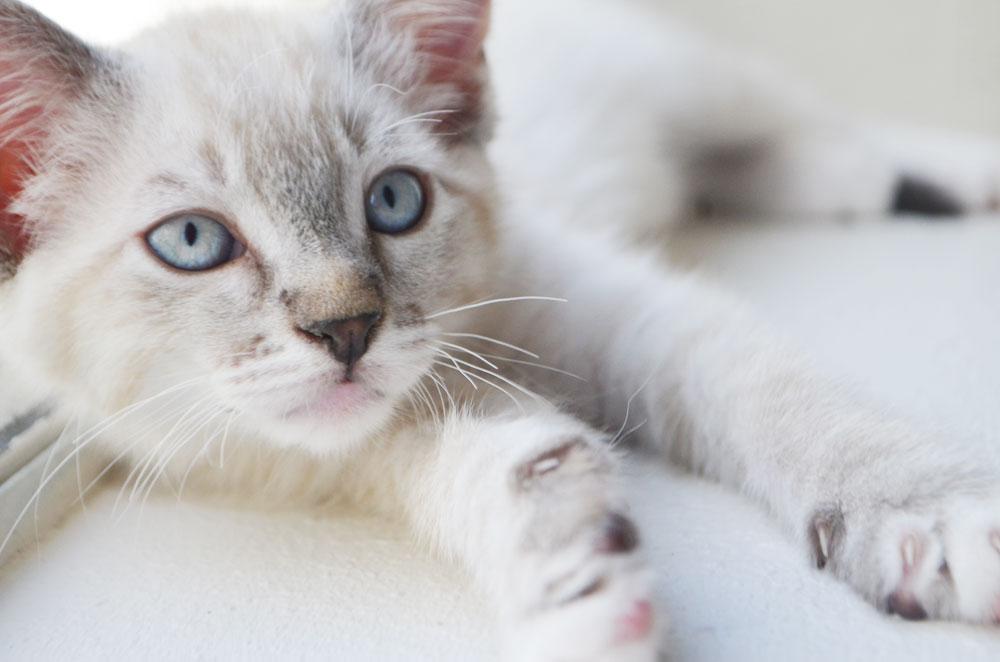kitten siamese theartmuse