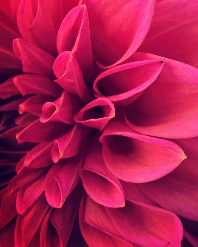 #sunday #sweet #sweetsundays #flowers #flowerstagram #dahlia #dahlias #pink #beautiful