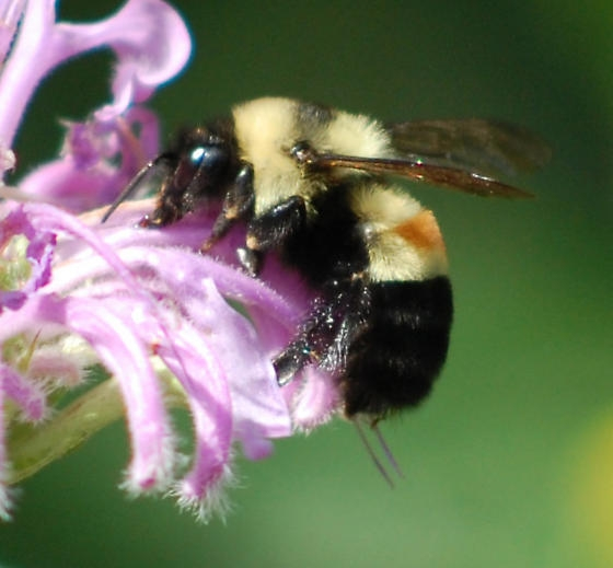 Rusty-patched bumble bee Photo by Johanna James-Heinz