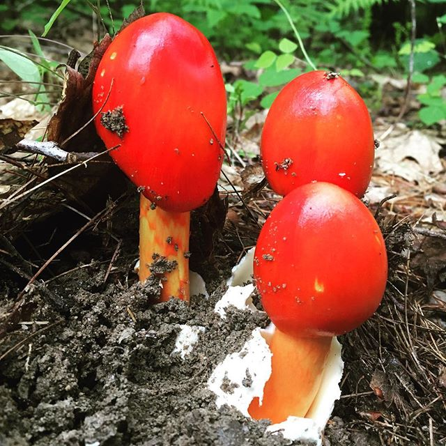 Don't think I'll eat these brightly colored #mushrooms. Worth checking out while trail running though.
