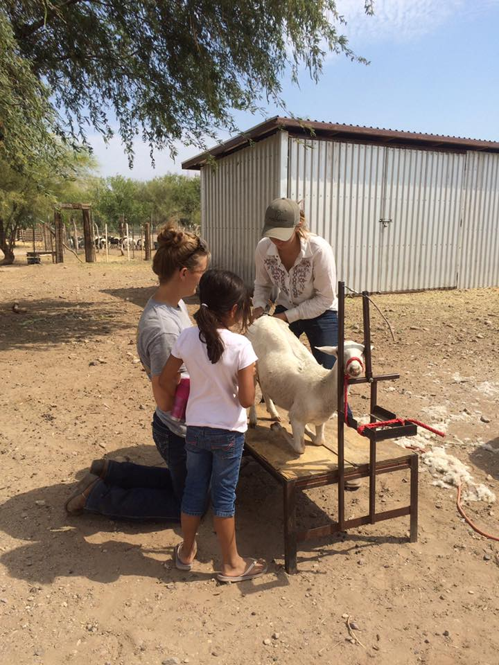 Shearing the sheep for the Production and Showmanship classes