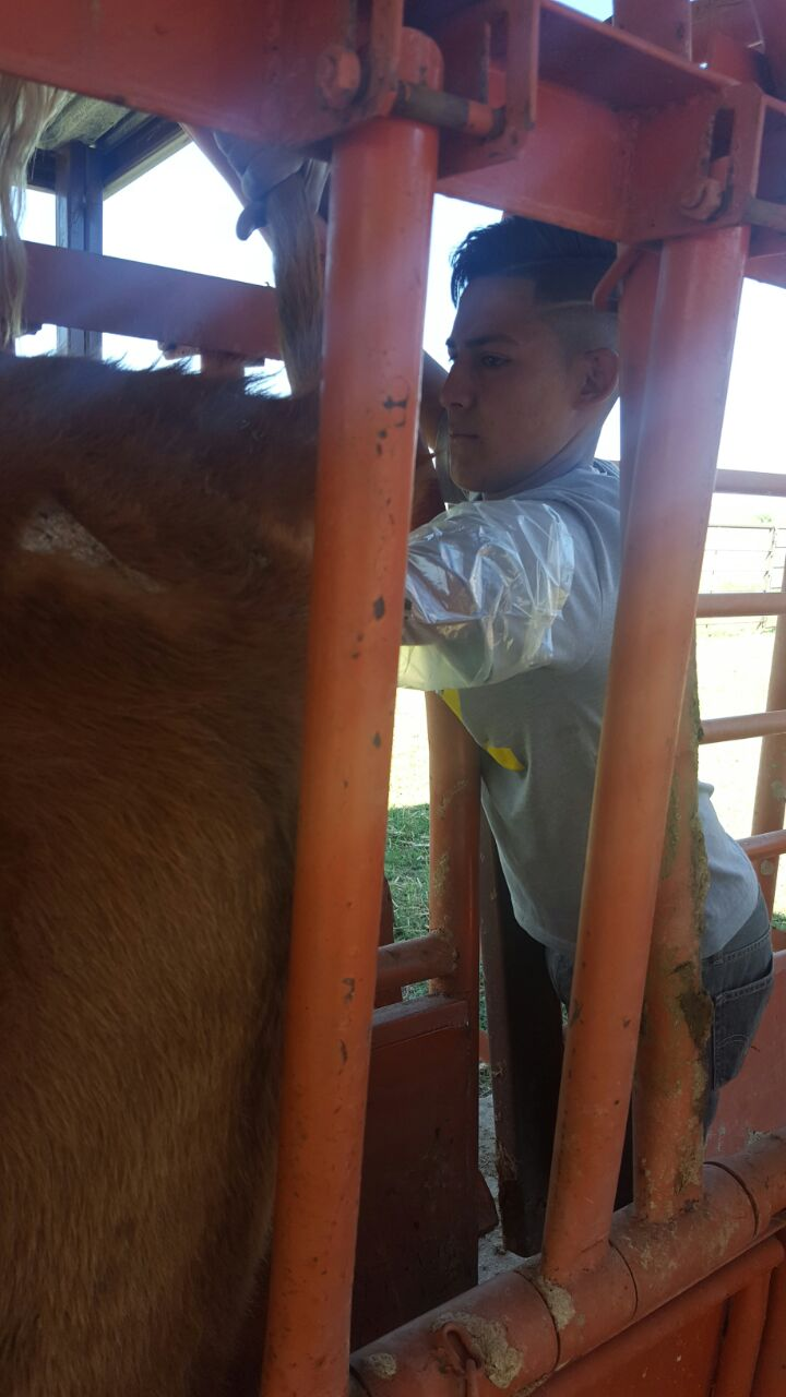 Roundup is also prime time for checking growth, pregnancy status, immunizations, etc. Here, Manuel is learning how to tell if a cow is pregnant or not.