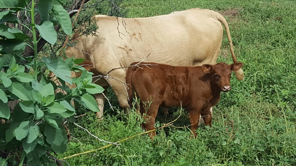 Calf from a commercial cow bred with a Red Angus bull.