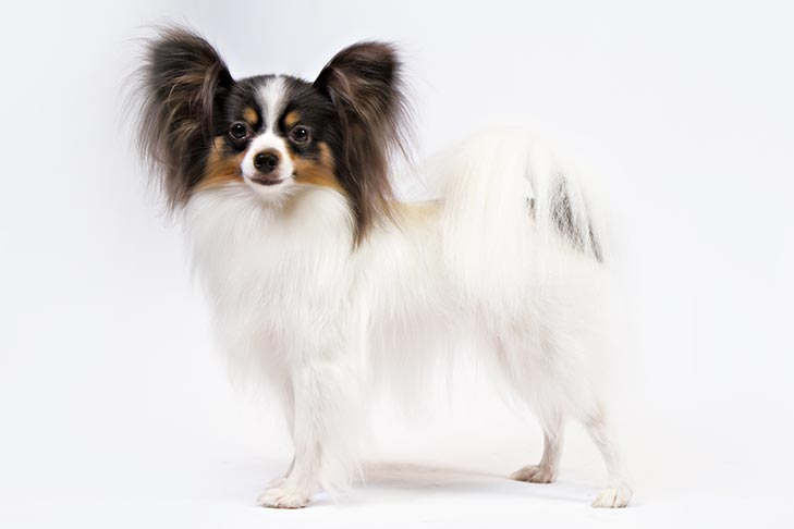 By https://www.akc.org/dog-breeds/papillon/