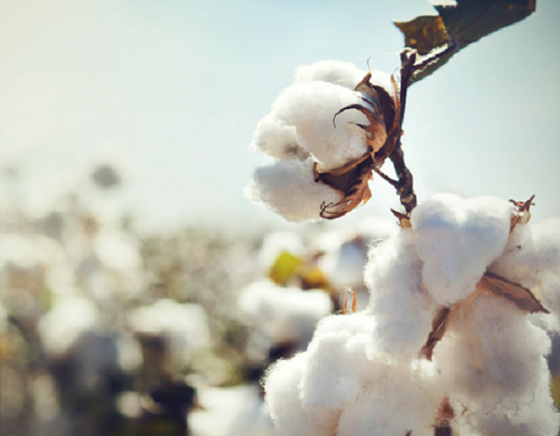 cotton.PNG