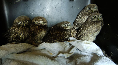 Now We Are Six! (even though you can only see five of us). The six fledgling Little Owls all bonded very quickly.