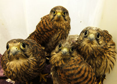 The Kestrel quadruplets will soon be transferred from  the hospital ward to a secure hack site.