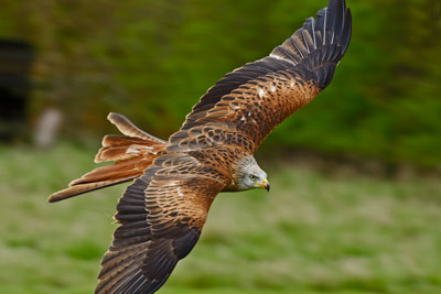 Red Kites can now be spotted flying over the skies of the Home Counties but visitors to the sanctuary can enjoy the awe inspiring sight of our own Red Kites Nessa, Bryn and Jester flying free and close-at-hand simultaneously from a purpose built hatch in their aviary