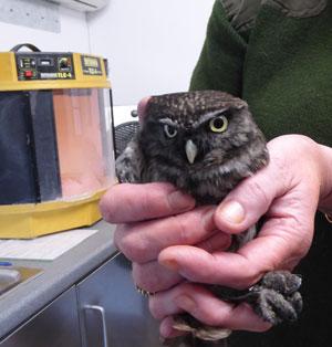I AM a Little Owl!!
