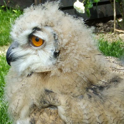 "Tura, the Siberian Eagle Owl ""chick"" is rapidly  maturing into an elegant and powerful bird"